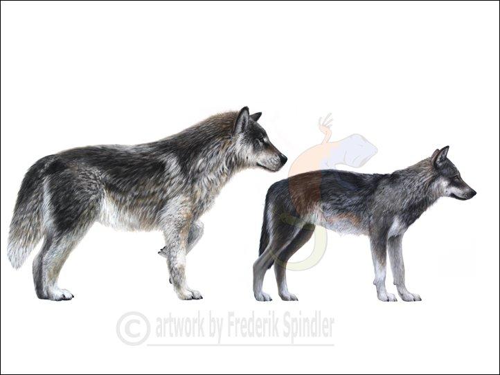 Dire wolf vs wolf - photo#1
